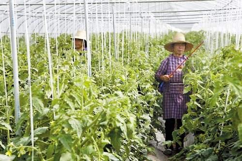 蔬菜施用叶面肥的注意事项